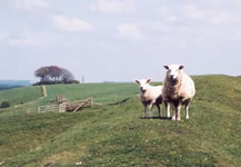 Sheep on The Ridgeway